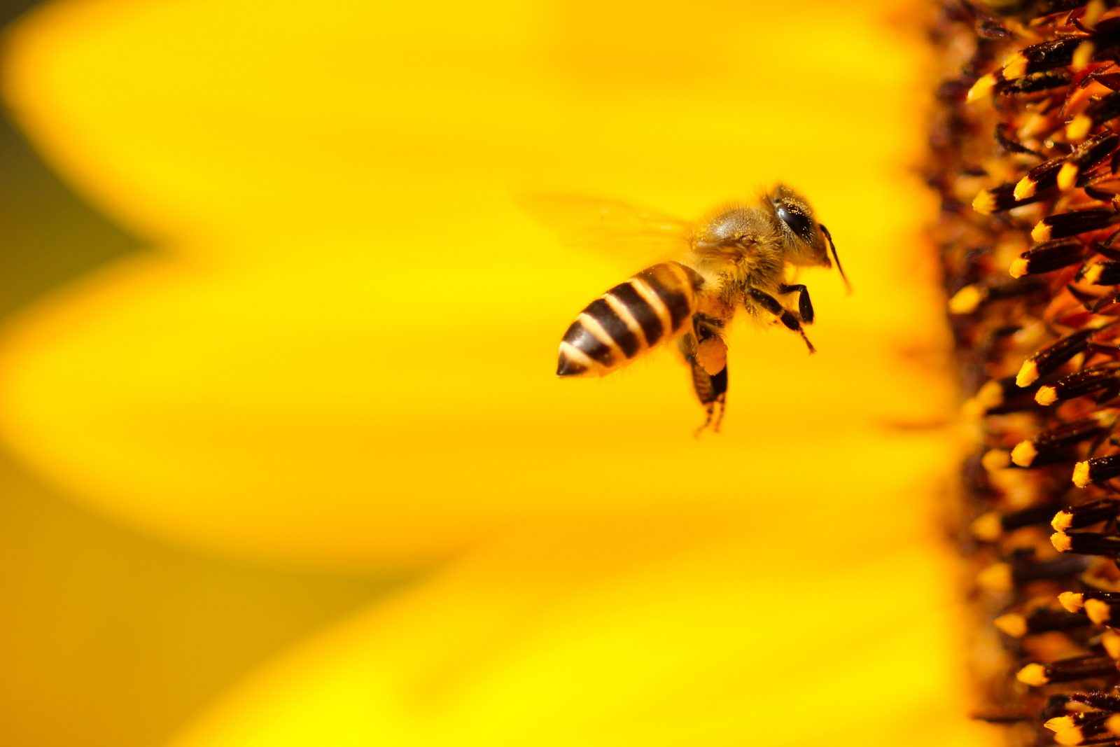 EPA Changes Rules to Allow Pesticide Harmful to Bees